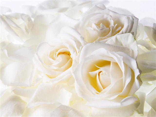 Оригинал Рози,нежность,цвети 1920x1440px.  Обои Рози,нежность,цвети Отрезать по...